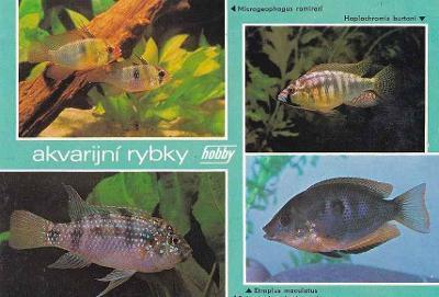 AKVARIJNÍ RYBKY - CICHLIDY - OKÉNKOVÁ - 74-ZY5