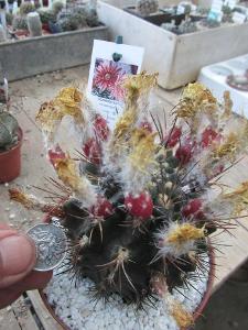kaktusy horridocactus keselringianus