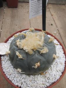 kaktusy  lophophora williamsii