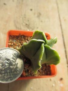 kaktusy astrophytum hybrid