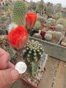 kaktusy lobivia  hybrid