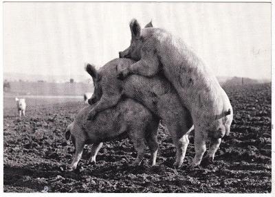 Německo - prasata domácí