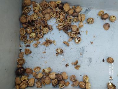 Drtič ořechů