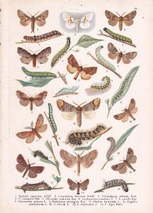 Litografie zvířata, Motýli