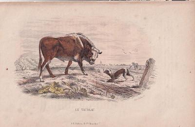 Litografie zvířata, Býk