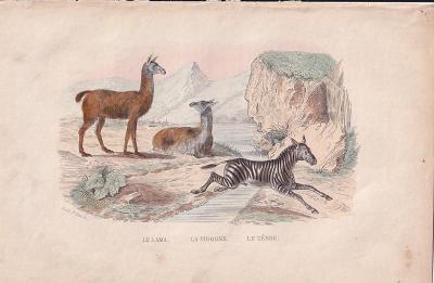 Litografie zvířata, zebra