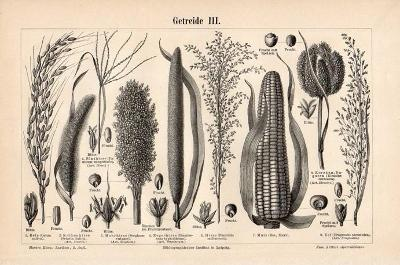 Litografie obilí – různé druhy