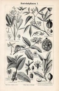 Litografie kaučukovník – větve, plody