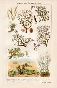 Litografie stepní a pouštní rostliny