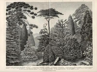 Litografie jehličnaté stromy a šišky