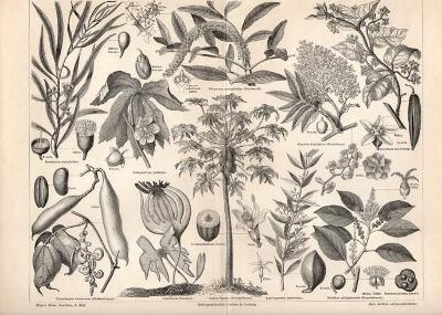 Litografie léčivé rostliny