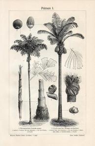 Litografie palmy