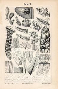 Litografie kapradiny