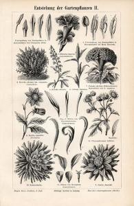 Litografie zahradní květiny