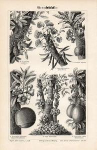 Litografie plody rostoucí z kmenu