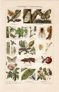 Litografie škůdci I