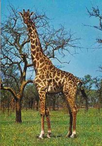 AFRIKA - ŽIRAFA - POHLEDNICE -408-SQ69