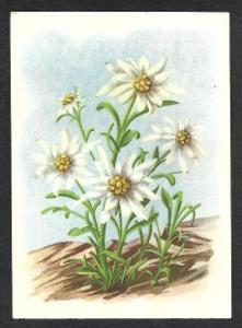 Květiny, alpinky , ca 1930