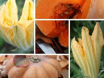 Dýně muškátová – semena 100 ks