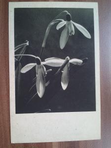 Kvetoucí sněženky, 9x14 cm