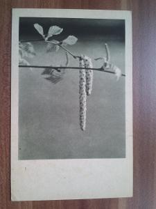 Březové jehnědy, 9x14 cm
