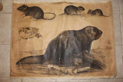 Školní plakát Bobr, myš, krysa , litografie
