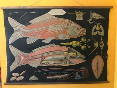 Školní plakát, Anatomie ryby , 1903