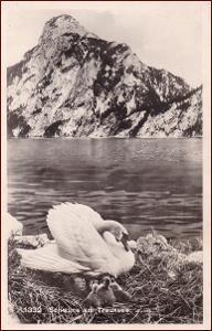 Labutě (ptáci) * divoká zvířata, Traunsee, Rakousko * M3830
