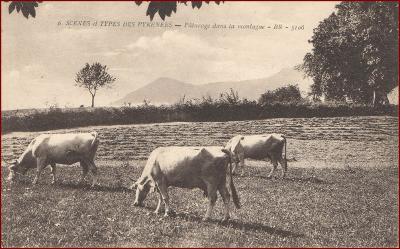 Krávy (zvířata) * pastva, krajina, hory * Pyreneje (Francie) * M2735