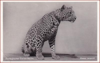 ZOO Berlin * leopard, zvířata, propagační, Německo * M4259